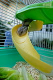 Hamster de blanc d'hiver de bébé Photographie stock libre de droits