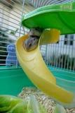 Hamster de blanc d'hiver de bébé Photos libres de droits