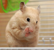 Hamster de creme Foto de Stock