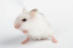 Hamster de Djungarian Imagem de Stock Royalty Free