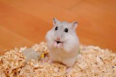 Hamster de Djungarian Photographie stock