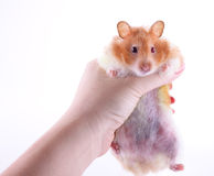 Hamster de fixation de main Images stock