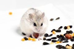 Hamster de Jungar Foto de Stock Royalty Free