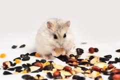 Hamster de Jungar Foto de Stock