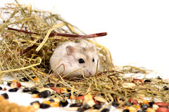 Hamster de Jungar Fotos de Stock