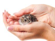 Hamster de Jungar dans les mains du ` s de femme d'isolement sur le blanc Photos libres de droits