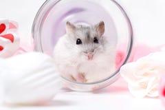 Hamster de Jungar dans un verre inversé Images stock