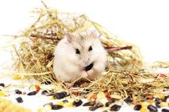 Hamster de Jungar em um fundo branco Fotografia de Stock Royalty Free