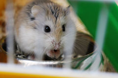 Hamster de Roborovski imagem de stock royalty free