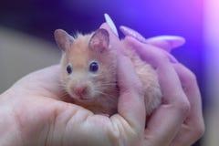 Hamster in de wapens van een volwassen meisje met gekleurde geschilderde spijkers stock foto's