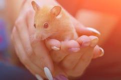 Hamster in de wapens van een volwassen meisje met gekleurde geschilderde spijkers Front View stock afbeelding