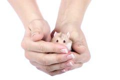 Hamster in den Händen. Stockfotografie