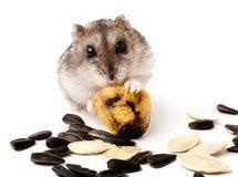 Hamster, der eine alte Banane hält Lizenzfreies Stockbild