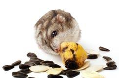 Hamster, der eine alte Banane hält Stockbild
