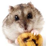Hamster, der eine alte Banane hält Lizenzfreie Stockfotografie