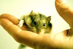 Hamster in der Hand Stockbild