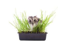 Hamster, der im grünen Gras sich versteckt Lizenzfreie Stockbilder