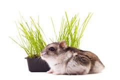 Hamster, der im grünen Gras sich versteckt Lizenzfreies Stockfoto