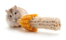 Hamster, der isst Stockfoto