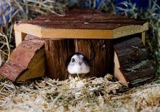Hamster in der Kabine Stockbild