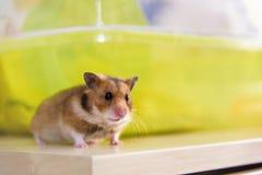 Hamster, der nahe seinem Käfig sitzt Lizenzfreies Stockfoto