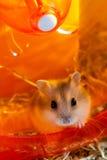Hamster die in een lopend wiel wachten Stock Foto