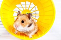Hamster die in het lopende wiel lopen stock foto's