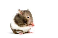 Hamster die op wit wordt geïsoleerdo