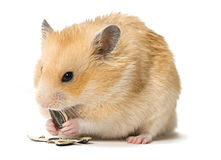 Hamster die zonnebloemzaden eet Royalty-vrije Stock Fotografie
