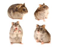 Hamster in different poses Stock Photography