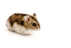 Hamster do anão Imagem de Stock