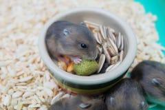 Hamster do branco do inverno Imagem de Stock Royalty Free