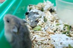 Hamster do branco do inverno do bebê fotografia de stock royalty free