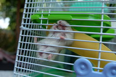 Hamster do branco do inverno do bebê Imagens de Stock Royalty Free