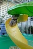 Hamster do branco do inverno do bebê imagens de stock