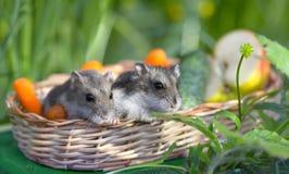 Hamster dois em uma cesta fotografia de stock royalty free