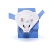 Hamster in Doos Stock Foto