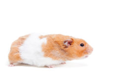 Hamster dourado isolado no branco Fotografia de Stock Royalty Free