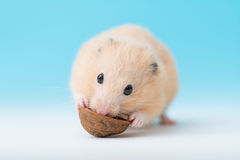 Hamster dourado que come a noz Fotos de Stock Royalty Free