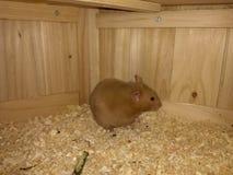 Hamster doux image libre de droits
