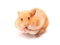 Hamster drôle Images libres de droits