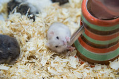Hamster is drinking water so delicious. Stock Images