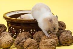 Hamster e nozes novos. Foto de Stock