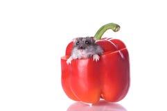 Hamster e pimenta lida Fotos de Stock Royalty Free