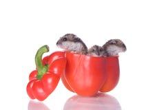 Hamster e pimenta lida Foto de Stock