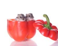 Hamster e pimenta lida Imagens de Stock
