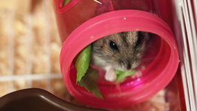 Hamster eat green salad stock video footage