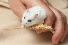 Hamster eat a seed. Stock Image