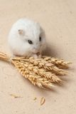 Hamster eat a seed. Stock Images