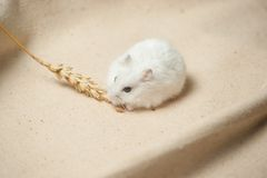 Hamster eat a seed. Royalty Free Stock Photography